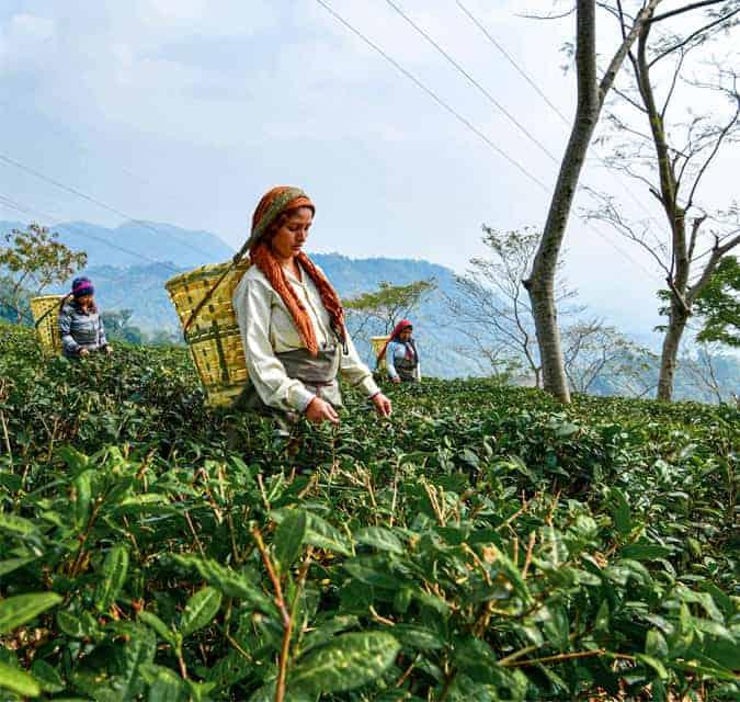 Makaibari-Tea-Plantation